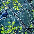 Steller's Jay In A Tree by Belinda Greb