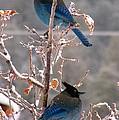 Steller's Jays by Feva  Fotos