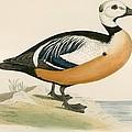 Stellers Western Duck by Beverley R. Morris