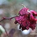 Stem Dried Petals by Susan Herber