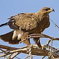 Steppe Eagle Aquila Nipalensis 2 by Eyal Bartov