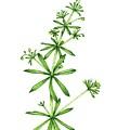 Stickyweed (galium Aparine) In Flower by Lizzie Harper/science Photo Library