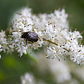Stiff Dogwood Wildflowers And Beetle by Kathy Clark