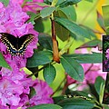 Still Life At North Puffin - Rhododendron With Butterfly by R B Harper