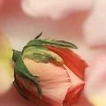 Still Life Rose by Cliff Norton