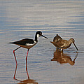Stilt And Dowitcher  by Tom Janca