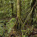 Stilt Roots In The Rainforest Ecuador by Pete Oxford