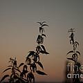 Stinging Sunset by Pete Abbott