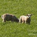 Stirling Sheep by Deborah Smolinske
