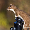Stoat On Tripod by Ron Sanford