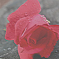 Stone Cold Rose by Debra     Vatalaro