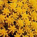 Stonecrop Orange Succulent by Sammy Miller