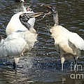 Stork Squabble by Theresa Willingham