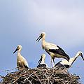 Storks In The Nest by Karol Kozlowski