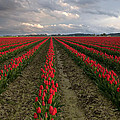 Stormy Red Tulips by David  Forster