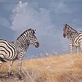 Stormy Zebra by Robert Teeling