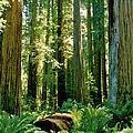 Stout Grove Coastal Redwoods by Ed  Riche