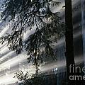 Stout Grove Redwoods With Sunrays Breaking Through Fog by Jim Corwin