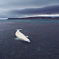 Stranded Beluga Whale Awaiting Incoming by Flip Nicklin