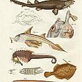 Strange Cartilageous Fish by Splendid Art Prints