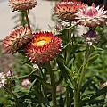 Straw Flowers Xerochrysum Bracteatum by Jason O Watson