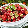 Strawberry Harvest by Elena Elisseeva
