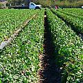 Strawberry Harvest by Jeff Lowe