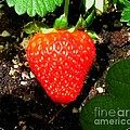 Strawberry by Patti Whitten