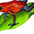 Strawberry Poison-dart Frog by Roger Hall