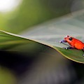 Strawberry Poison Frog by Nicolas Reusens