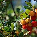Strawberry Tree by Dejan Knezevic