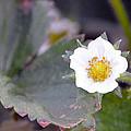 Strawberrys Flower by Brent Dolliver