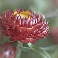Strawflower by David and Carol Kelly
