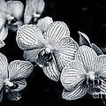Stream Of Orchids by Silken Photography