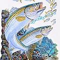 Striped Bass Rocks by Carey Chen