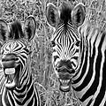 Striped Donkeys Zebra Chapman's Race by Jonathan Whichard