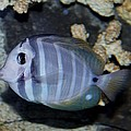 Striped Fish by Cynthia Guinn
