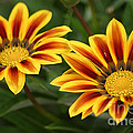 Striped Gazania by Living Color Photography Lorraine Lynch