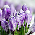 Striped Purple Crocuses In The Snow by Sharon Talson