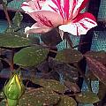 Striped Rose And Yellow 2 by Usha Shantharam