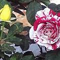 Striped Rose And Yellow by Usha Shantharam