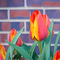 Striped Tulips by Debra Powell