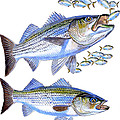 Stripers by Carey Chen