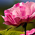 Stripes On  Roses by Jean Noren