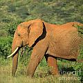Strolling Elephant by Deborah Benbrook