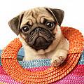 Stuck Pug by Greg Cuddiford