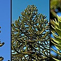 Study Of The Monkey Puzzle Tree by Tikvah's Hope
