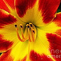 Stunning Daylily  by CapeScapes Fine Art Photography