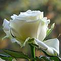 Stunning Rose by Lance Sheridan-Peel