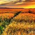 Stunning Sunset Over Cereal Field by Sylvie Bouchard